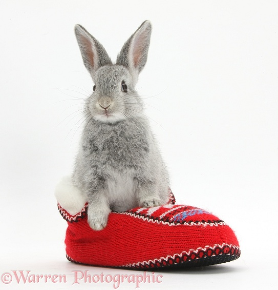 Young silver rabbit in a knitted slipper, white background