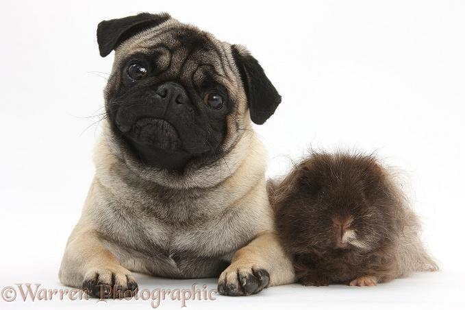 Pets: Fawn Pug dog and shaggy Guinea pig photo - WP32910