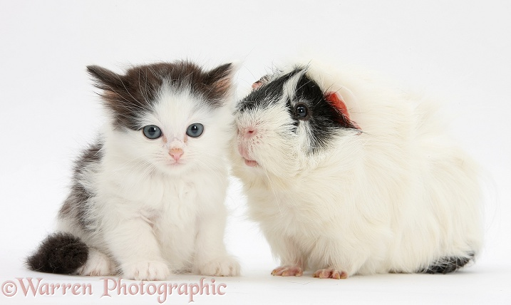 Black-and-white kitten and Guinea pig, white background