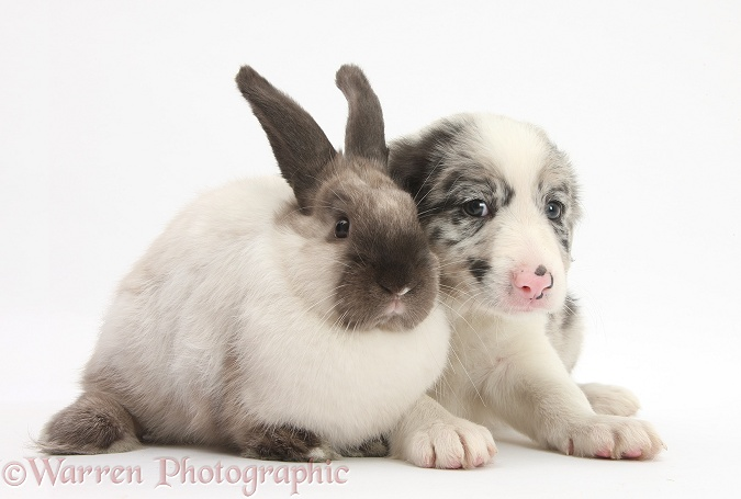 Merle Border Collie pup with colourpoint rabbit, white background