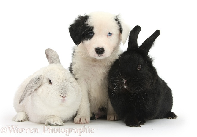 Black-and-white Border Collie pup, 6 weeks old, with black rabbit and white rabbit, white background