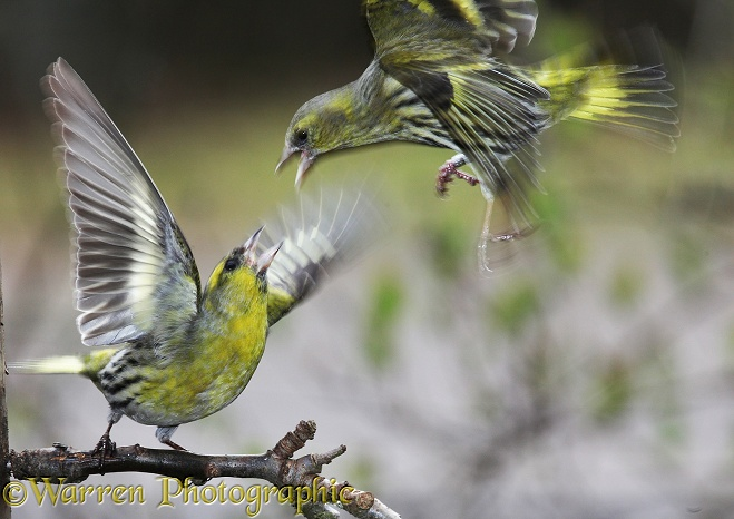 Siskins (Carduelis spinus) fighting.  Europe & Asia
