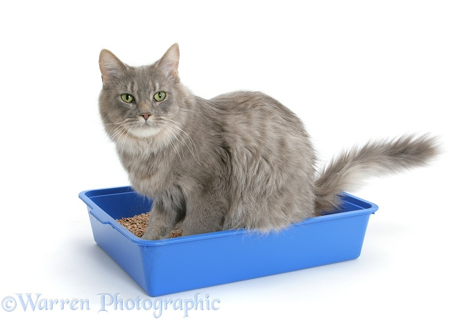 Adult Maine Coon female cat, Serafin, using a litter tray, white background