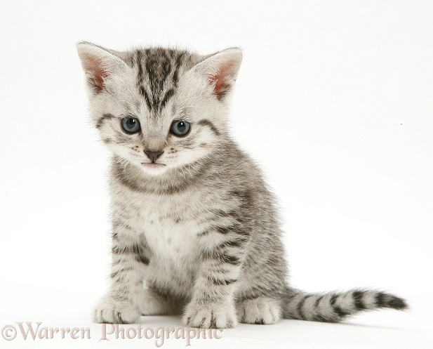 Silver tabby shorthair kitten sitting