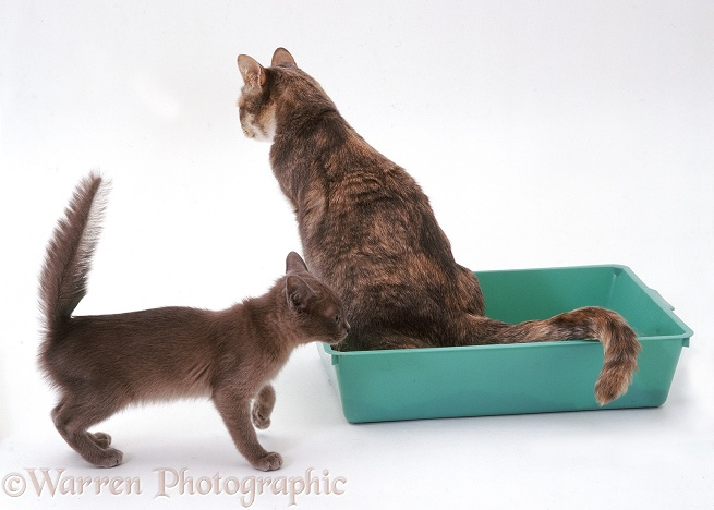 Blue tortoiseshell cat, Harebell, using her litter tray, white background