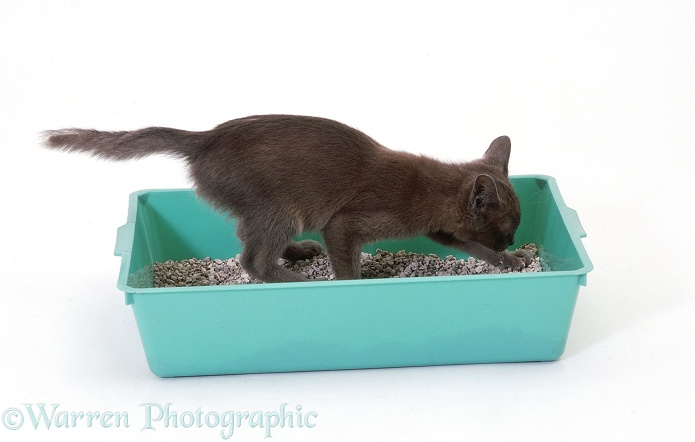 Burmese-cross kitten digging in a litter tray, white background