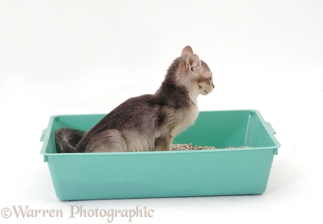 Burmese-cross kitten using a litter tray, white background