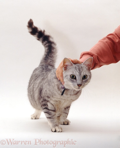 Silver tabby male cat enjoying being stroked, white background