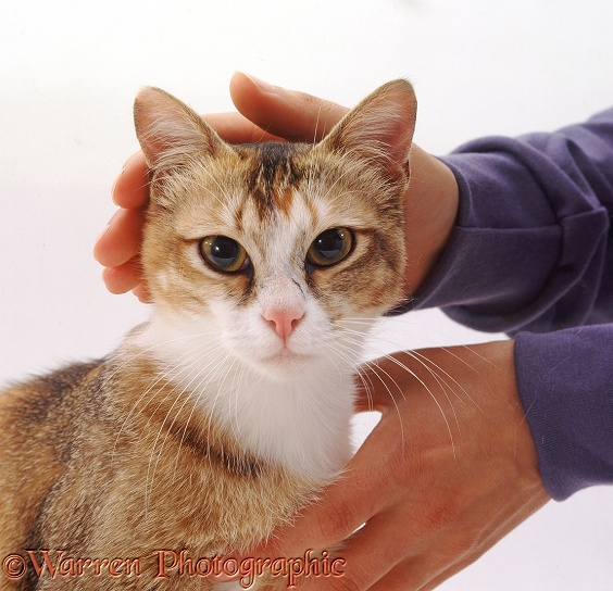 Cat enjoying being stroked, white background