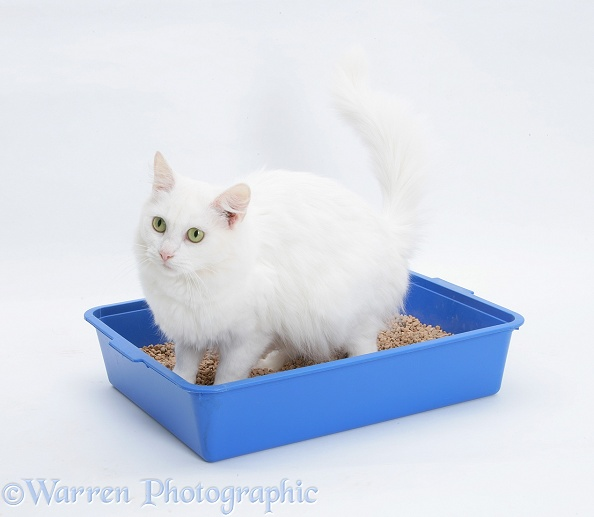 White Maine Coon-cross female cat, Melody, using a litter tray, white background