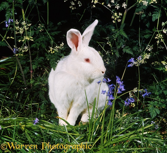 White albino rabbit among bluebells and cow parsley