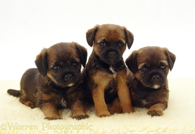 Three Border Terrier pups, 5 weeks old, white background