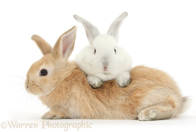 White rabbit lounging over Sandy rabbit, white background