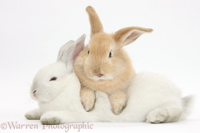Sandy rabbit lounging over white rabbit, white background