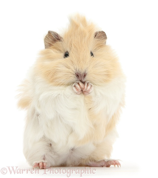 Young cinnamon-and-white Guinea pig, washing paws, white background
