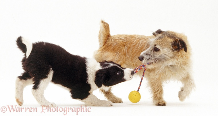 Black-and-white Border Collie pup, Phoebe, playing tug-o-war with Patterdale x Jack Russell Terrier dog, Jorge, 2 years old, white background