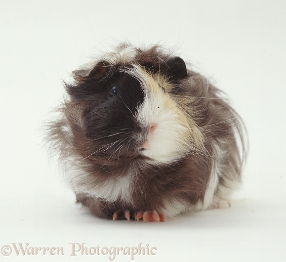 Rosetted Abyssinian Guinea pig, white background