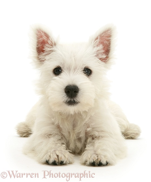 West Highland White Terrier pup, white background