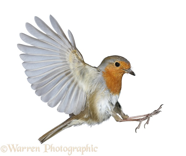 Robin (Erithacus rubecula) about to land, white background