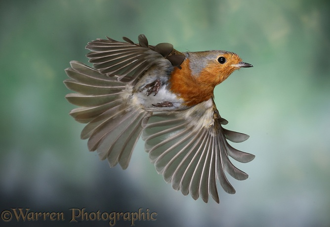 European Robin (Erithacus rubecula) in flight