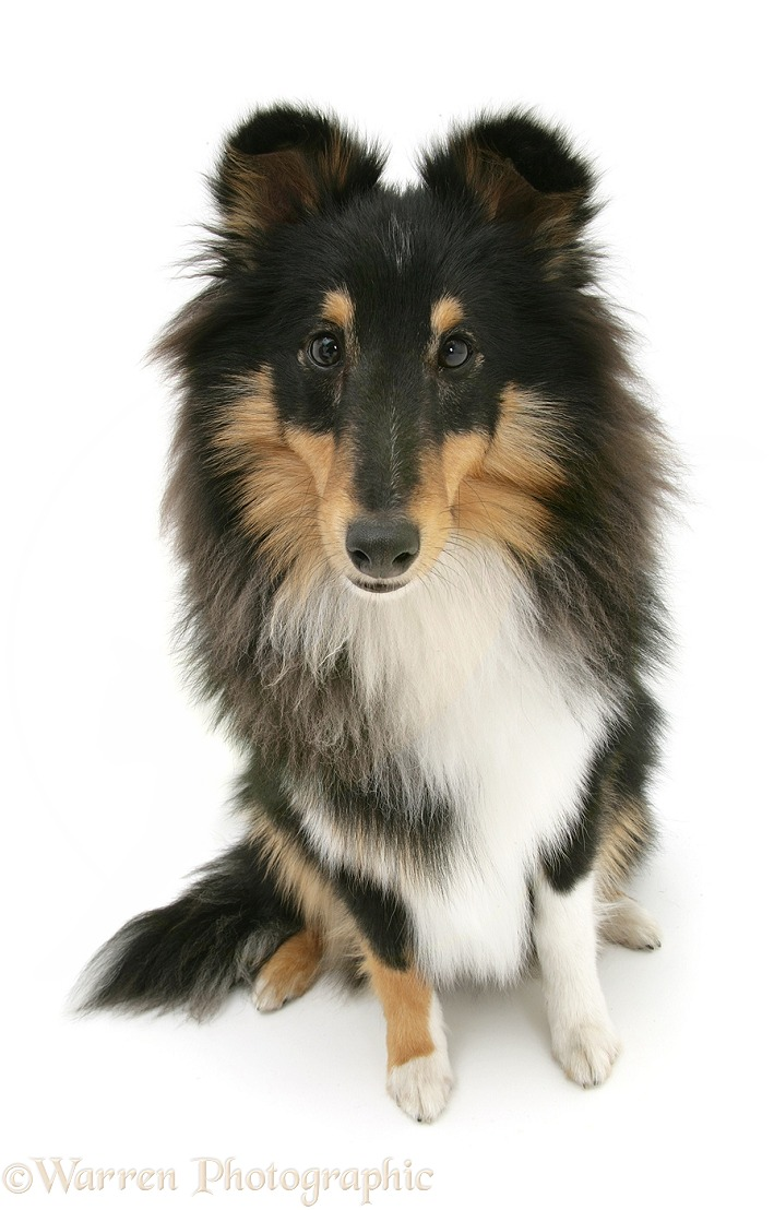 Tricolour Shetland Sheepdog (Sheltie) sitting looking up