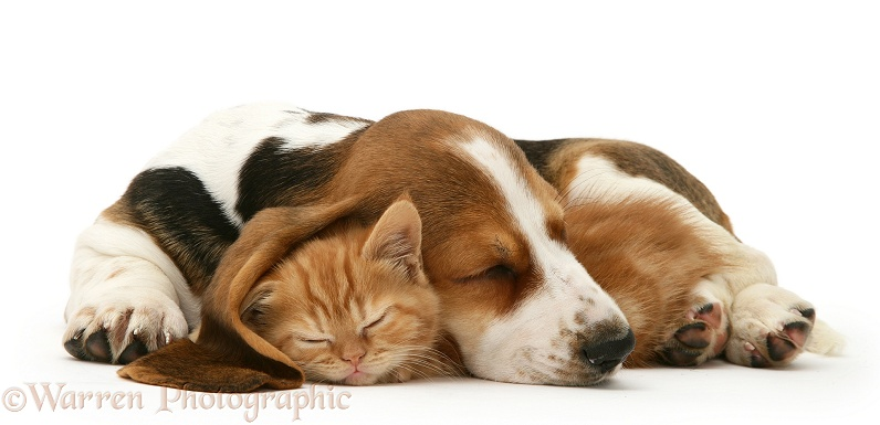Ginger kitten asleep under the ear of a sleeping Basset pup, white background