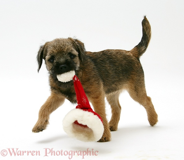 Border Terrier bitch pup, Rusty, 10 weeks old, chewing a Father Christmas hat, white background
