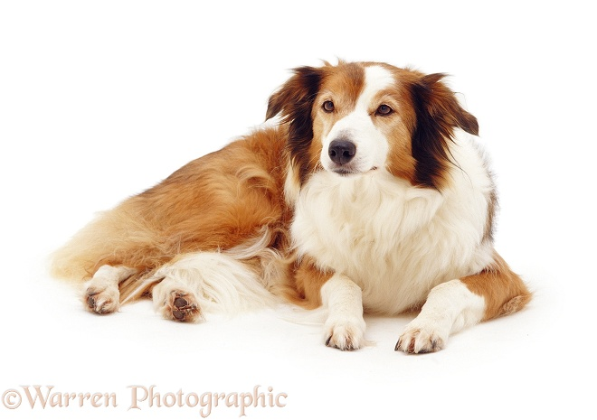 Elderly Sable Border Collie, Lark, 13 years old, lying with head up, white background