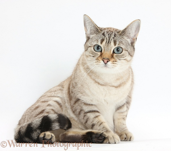 Sepia Snow Bengal-cross female cat, Lilli, 3 years old, sitting, white background