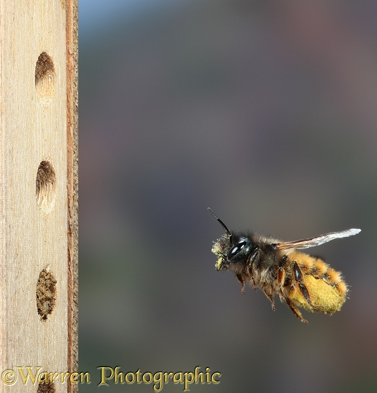 Red Mason Bee (Osmia rufa) female carrying pollen and nectar nectar to nest