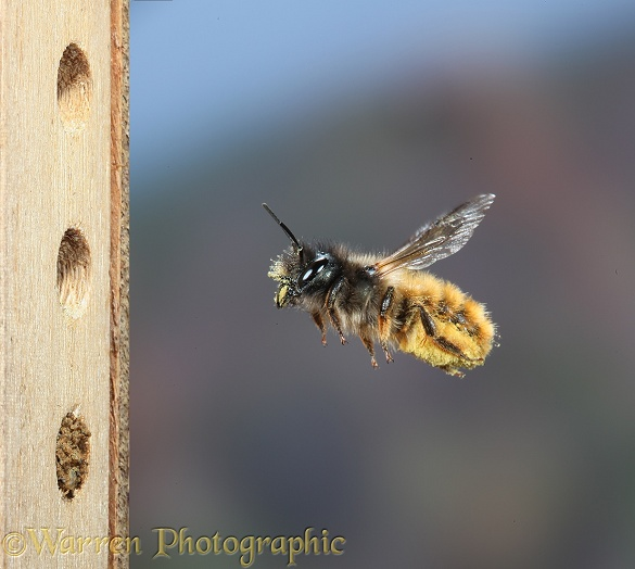 Red Mason Bee (Osmia rufa) female carrying pollen to nest cell
