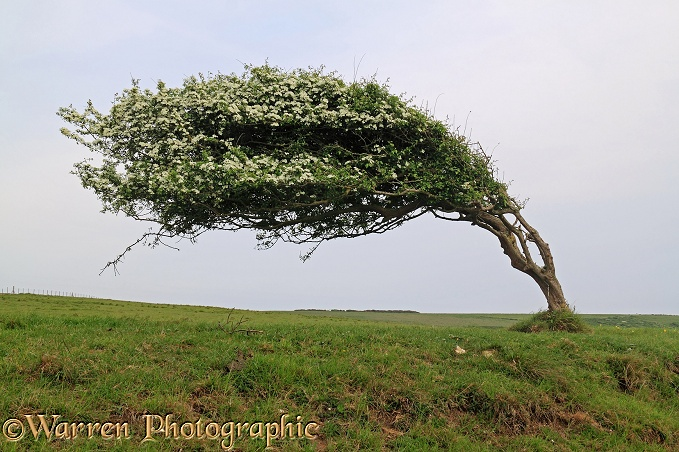 Wind-blown Hawthorn (Crataegus monogyna) tree.  Sussex, England