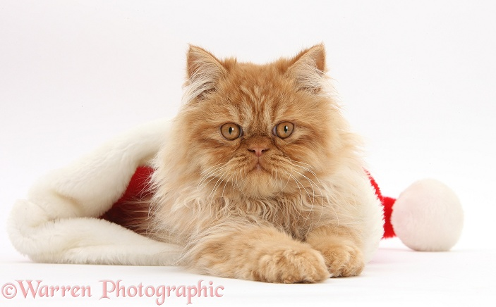 Ginger Persian male kitten, Jeffrey, 15 weeks old, in a Father Christmas hat, white background