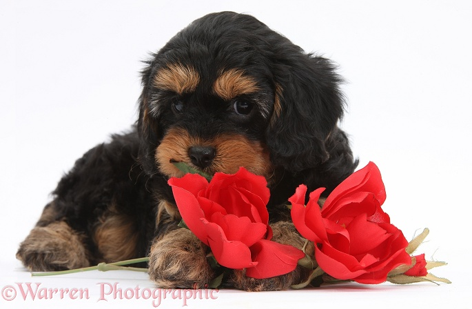 Cavapoo pup with red roses, white background