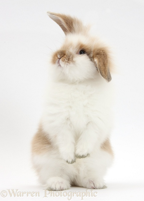 Young fluffy rabbit standing up, white background