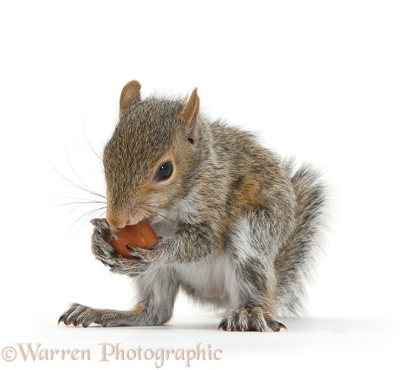 Young Grey Squirrel (Sciurus carolinensis) eating a hazelnut, white background