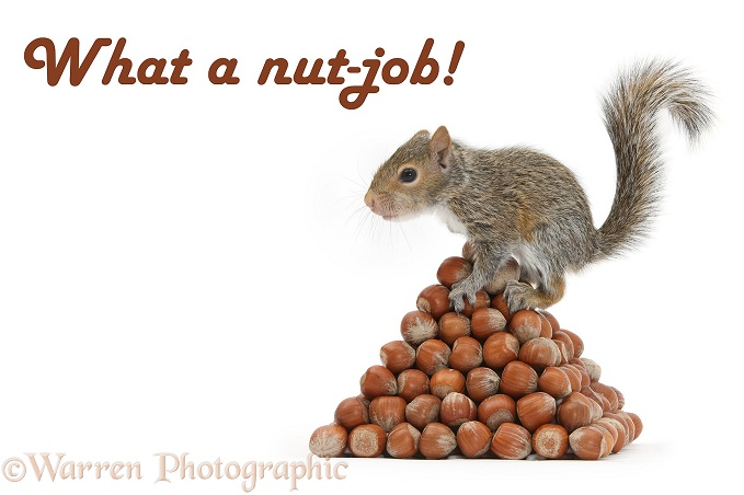 Young Grey Squirrel (Sciurus carolinensis) with pyramid of hazel nuts, white background