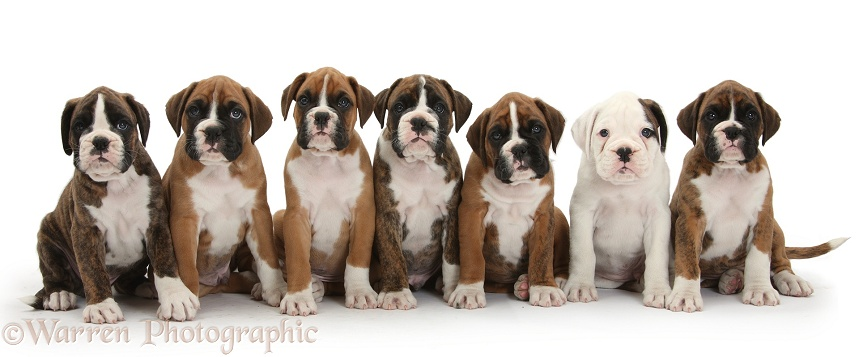Seven boxer puppies sitting in a row, white background