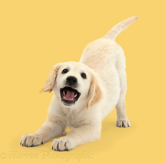 Golden Retriever dog pup, Oscar, 3 months old, in play-bow, white background