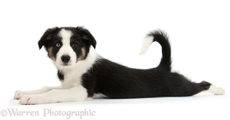 Odd-eyed Tricolour Border Collie pup, 10 weeks old, lying stretched out, white background