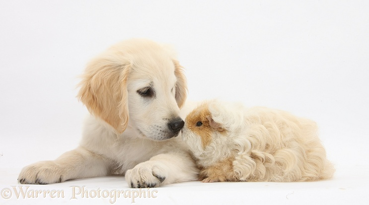 Golden Retriever dog pup, Oscar, 3 months old, nose-to-nose with shaggy Alpaca Guinea pig, Peaches, white background