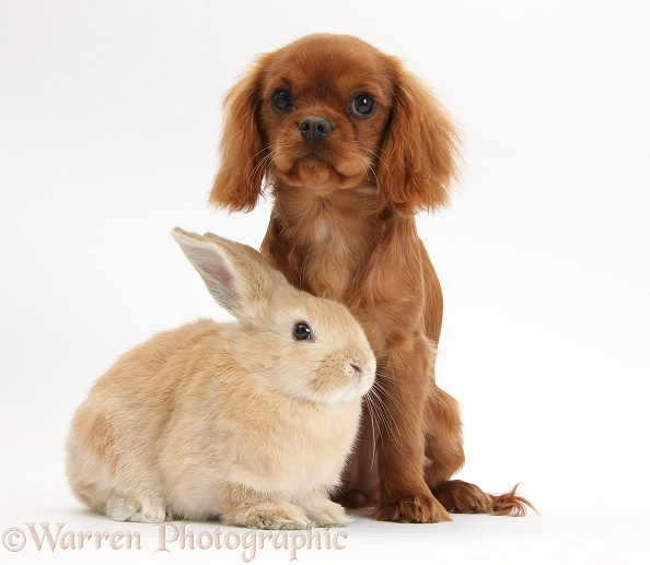 Ruby Cavalier King Charles Spaniel pup, Flame, 12 weeks old, and young Sandy rabbit, white background