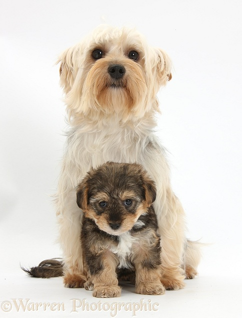 Yorkie mother, Evie, with Yorkipoo pup, 6 weeks old, white background