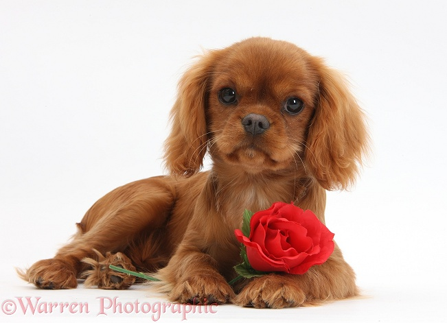 Ruby Cavalier King Charles Spaniel pup, Flame, 12 weeks old, with a red rose, white background