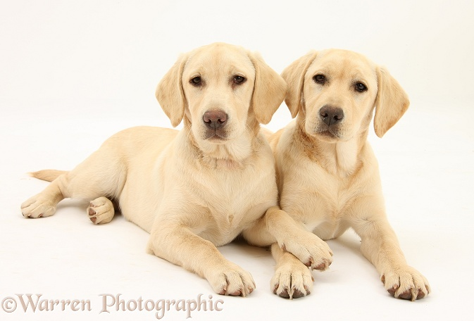Yellow Labrador Retriever pups, 5 months old, white background