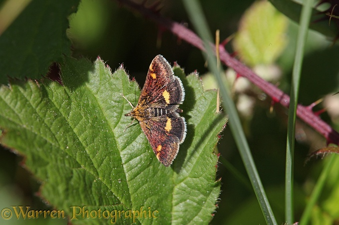 Purple and Gold Pyralid Moth