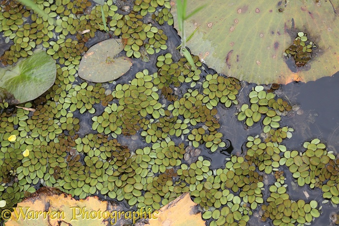 Water Fern (Salvinia minima)