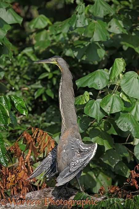 Bare-throated Tiger-Heron (Tigrisoma mexicanum) sunning