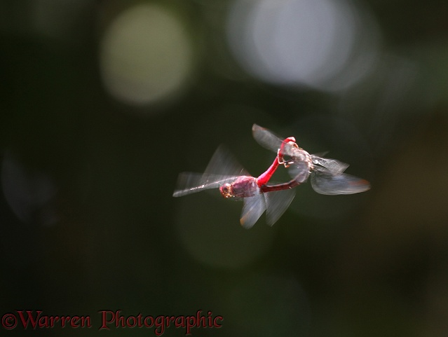 Dragonfly (unidentified) pair in flight at Tortuguero, Costa Rica