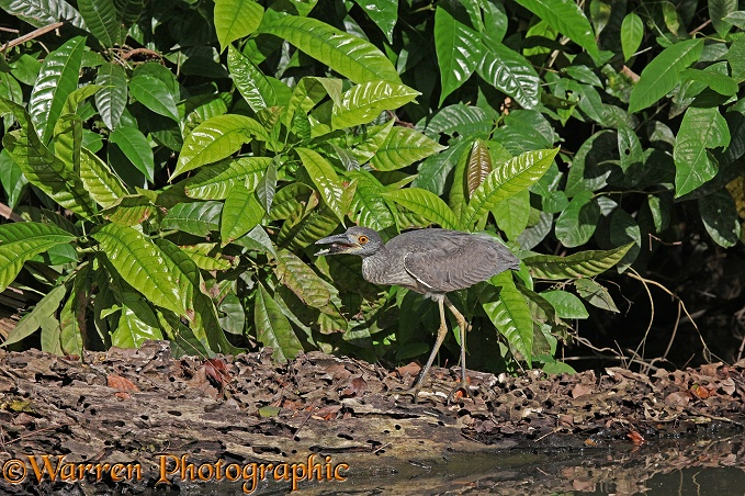 Black-crowned Night Heron (Nycticorax nycticorax) eating a river crab